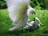 Cockatoos fighting in a park in Australia poster
