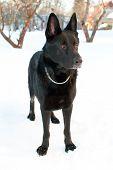 Black East-European shepherd standing in the snow poster