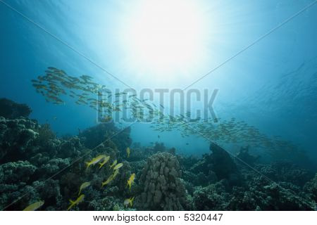 ocean sun and yellow fin goat fish taken in the red sea. poster
