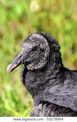 Portrait Of A Black Vulture