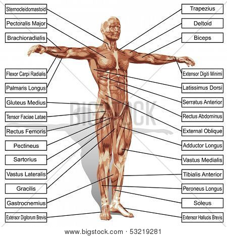 A 3D male or human anatomy, a man with muscles and text isolated on white background  poster