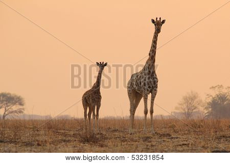 Giraffe - Wildlife Background from Africa - Silhouette of Parenthood