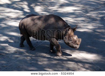 Rhino At Zoo