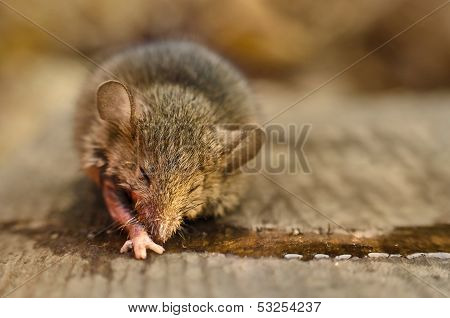 Mouse Dying Catched On A Glue Trap