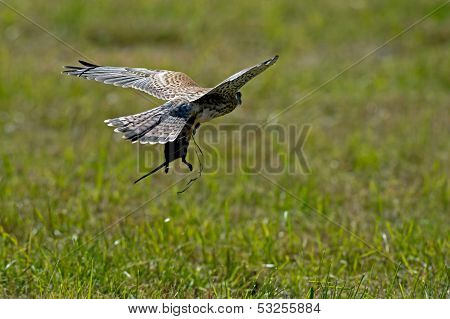 Flying Kestrel With Favorite Meal Between The Claws