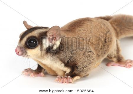 a closeup photo of sugar glider on white background poster