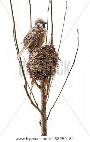 Bird's Nest and sparrows