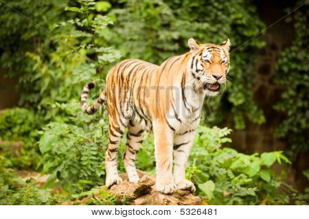 Tiger On Tree