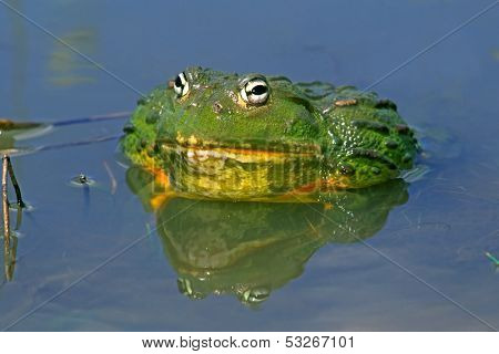 Male African giant bullfrog (Pyxicephalus adspersus), South Africa