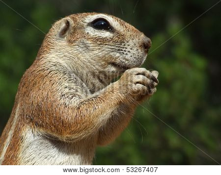Close-up of a feeding ground squirrel (Xerus inaurus), Kalahari, South Africa