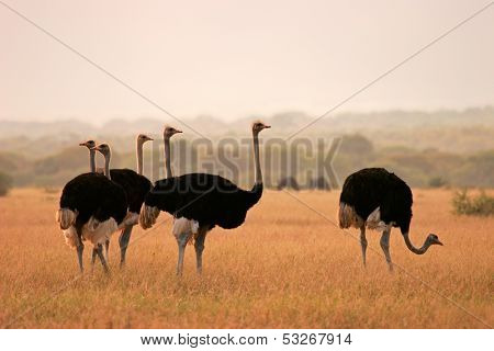 Ostriches (Struthio camelus) in early morning light, Marakele National Park, South Africa