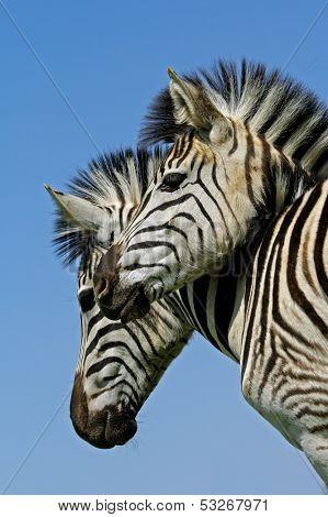 Portrait of two Plains (Burchell's) Zebras (Equus quagga), Mokala National Park, South Africa