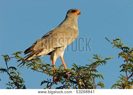 Pale Chanting goshawk (Melierax canorus) perched on a tree, Kalahari desert, South Africa