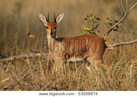 Male steenbok antelope, (Raphicerus campestris), Kruger National Park, South Africa