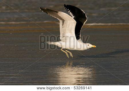 A kelp gull (Larus dominicanus) in flight, South Africa