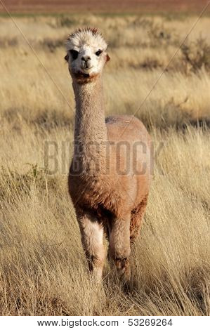 Alpaca (Vicugna pacos), domesticated species of South American camelid