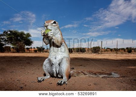Inquisitive ground squirrel (Xerus inaurus), Kalahari, South Africa