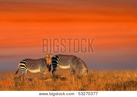 Cape Mountain Zebras (Equus zebra) against a warm late afternoon sky