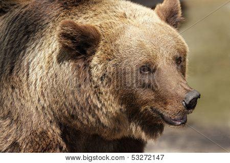 Portrait of a Grizzly bear (Ursus arctos horribilis), North America