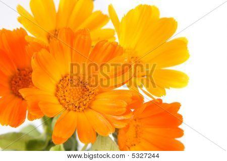 The Flowers Of Calendula