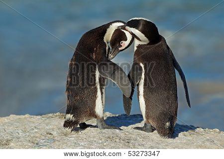 Pair of African penguins (Spheniscus demersus), Western Cape, South Africa