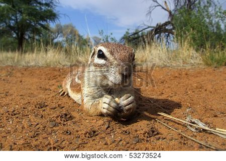 Inquisitive ground squirrel (Xerus inaurus) lying on the ground, Kalahari desert, South Africa