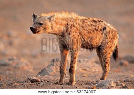 Spotted hyena (Crocuta crocuta), Etosha National Park, Namibia, southen Africa
