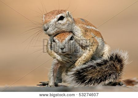 Two ground squirrels (Xerus inaurus) playing, Kalahari desert, South Africa