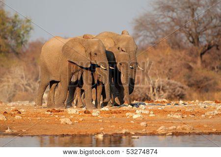 African elephants (Loxodonta africana) at a waterhole, Etosha National Park, Namibia