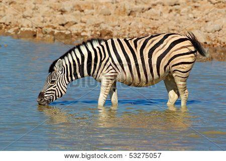 Plains (Burchells) Zebra (Equus burchelli) drinking water, Etosha National Park, Namibia