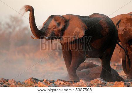 African elephants (Loxodonta africana) covered in dust, Etosha National Park, Namibia