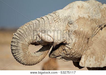 African elephant (Loxodonta africana) covered in mud, Etosha National Park, Namibia