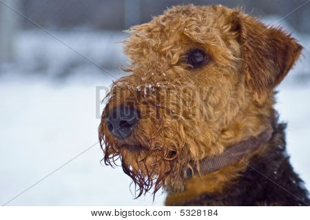 Airedale Terrier Dog On A Snowy Winter Day