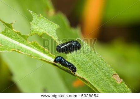 Two grub worms eating on a leaf. poster