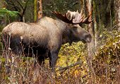 Moose Bull with big antlers blowing steam, Male, Alaska, USA poster
