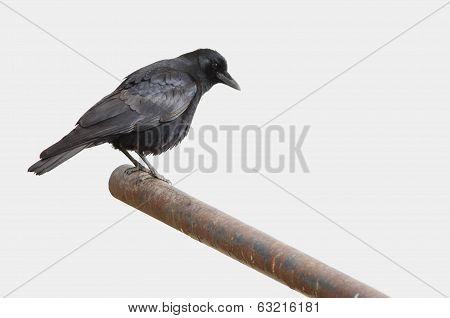 American Crow Isolation