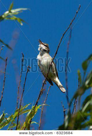 Acrocephalus Arundinaceus, Great Reed Warbler. A Singing Bird.