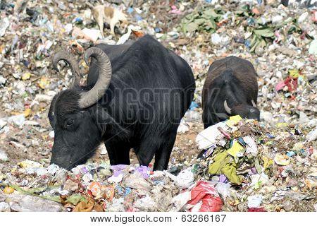 Buffaloes eating garbage in the dumping yard