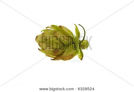 One Green Cone Of Hop