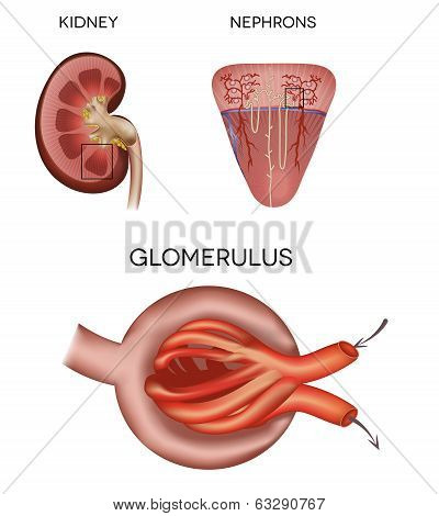 Renal Corpuscle And Glomerulus, A Part Of The Kidney