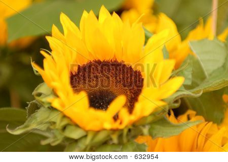 Sunflower, To Be Oiled