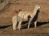 Alpaca mother and baby poster