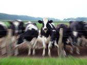 Herd of curious Frisian cattle with zoom effect poster