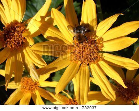 A honeybee on a yellow flower poster