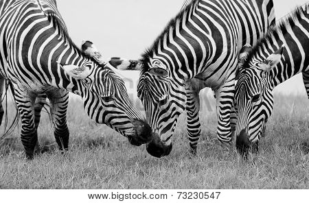 Group Of Zebras