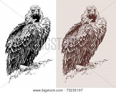 artwork of griffon vulture Aegypius monachus