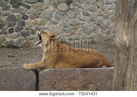 Lioness Yawns