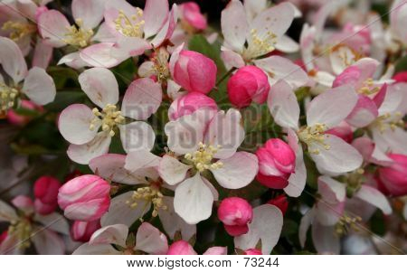 A Bunch Of Cherry Blossom