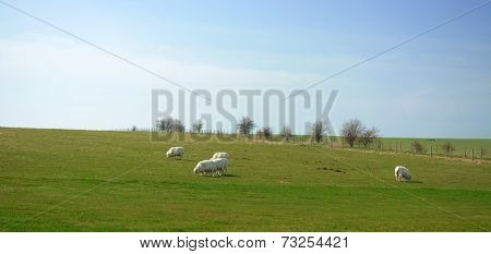 Sheep grassing