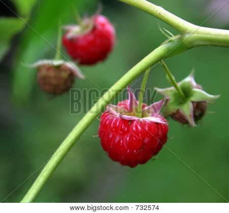Raspberries hanging from the bush. poster